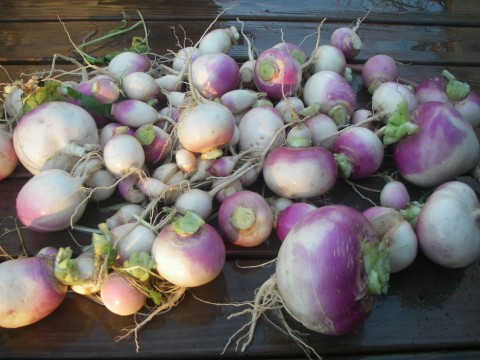 Turnips Galore!