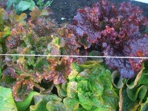 fall harvest2012 008
