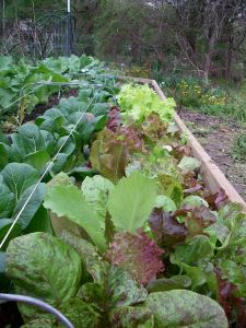 Baker Creek Lettuce, Black Seeded Simpson, and Pac Choi