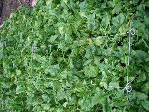 Enough spinach to choke Popeye!