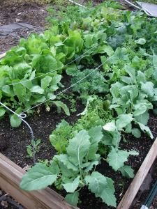 Romaine lettuce, European Mesclun mix, more kohlrabi and more kale fill this bed.