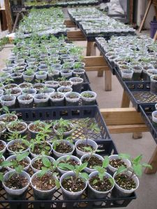 Tomato Plants o-plenty...just waiting for you to plant!