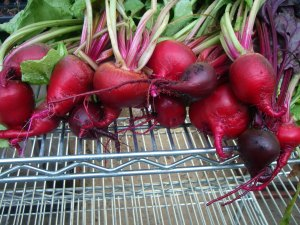 First harvest of beets.  We need to get some goat cheese!