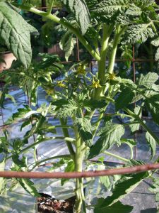 Tomato plants are blooming and setting fruit!