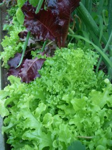 Last of the lettuces