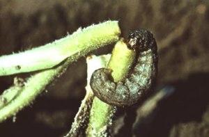 cutworm-1