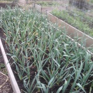 garlicbed
